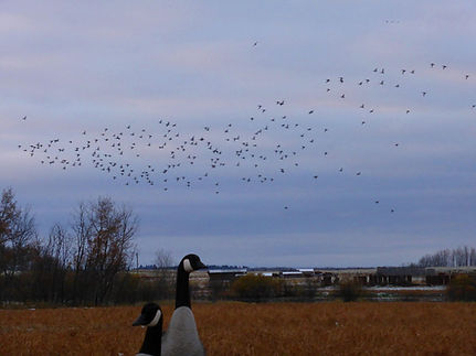 Waterfowl hunting in Canada