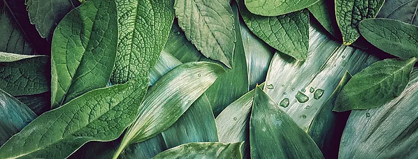 Sterre bladeren groen beauty.png