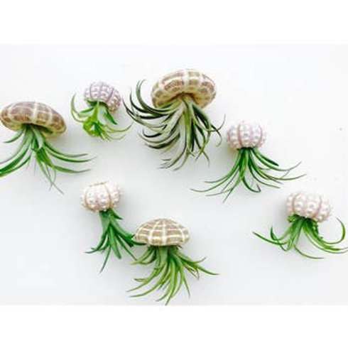 Hanging Jellyfish AirPlants