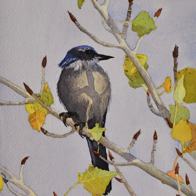 Snow Canyon Scrub Jay