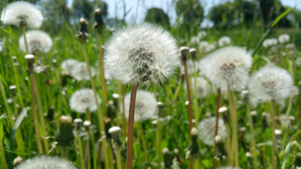 Pollenzeit Pusteblume