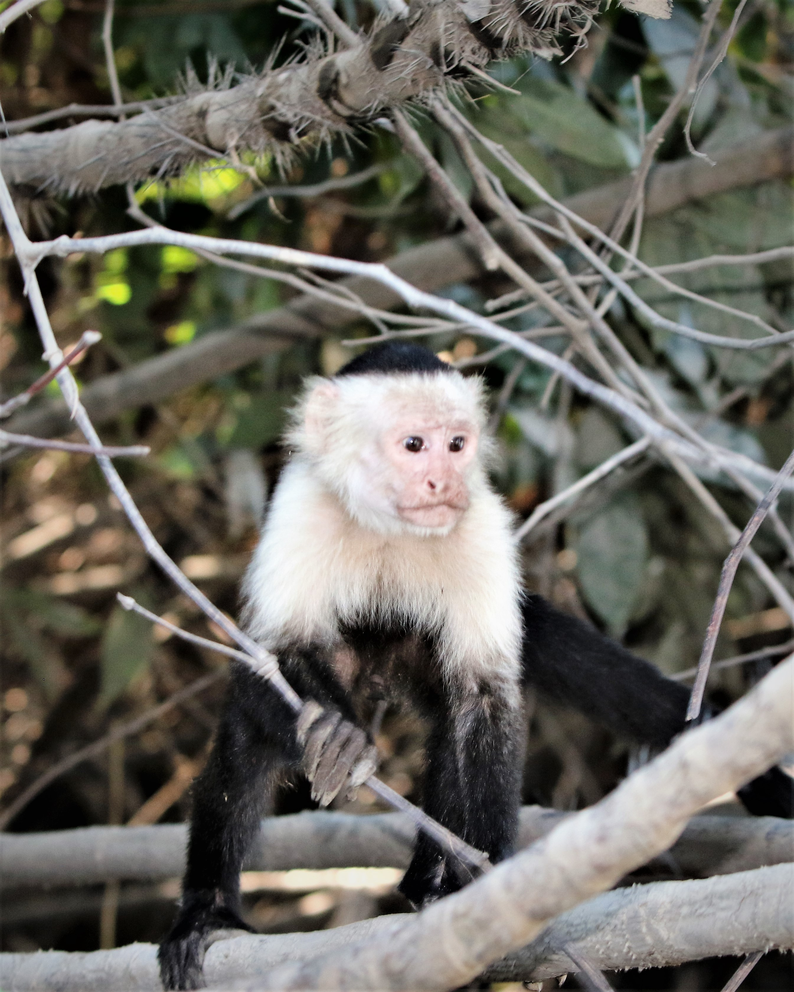 Palo Verde Capuchin Monkey