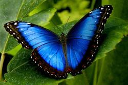 fol_blue-morpho