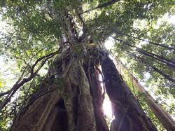 Monteverdeficus