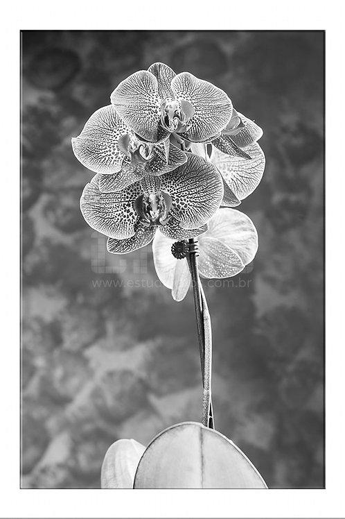 Orquídea Fria
