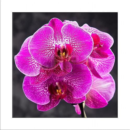 Orquídea Viva
