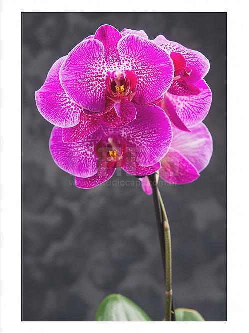 Orquídea Vívida