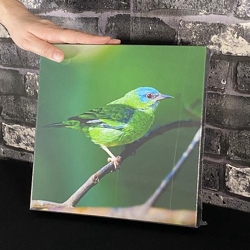 Saíra-sete-cores F (tela canvas)