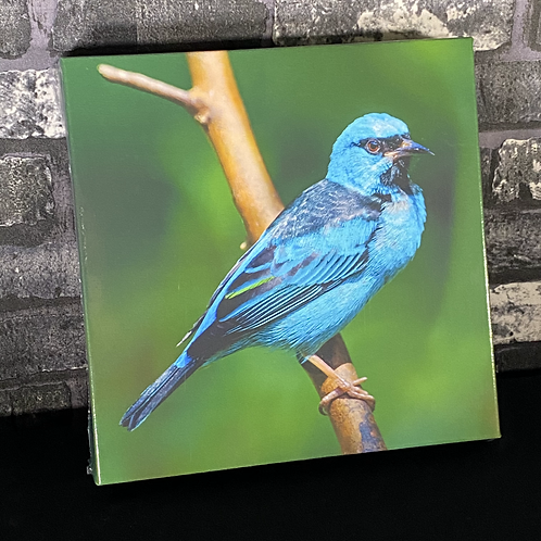 Saí-azul (tela canvas)