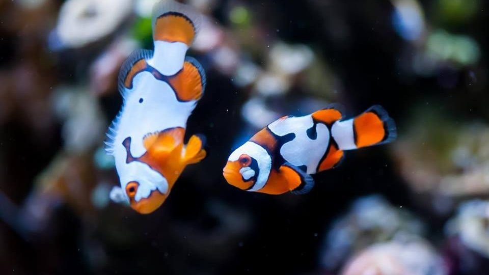 Picasso Clownfish
