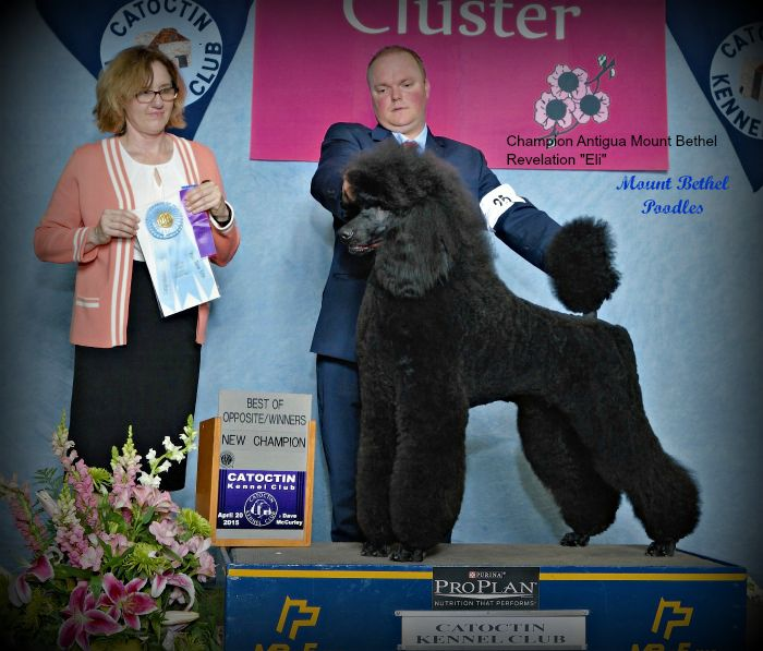Eli New Champ poodle data