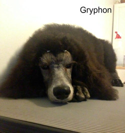 Gryphon puppy horns