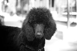 Sasha the poodle May 21
