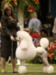 Standard Poodle at national specialty, 2013