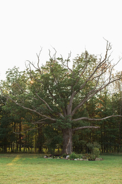 Oak Tree behind pond