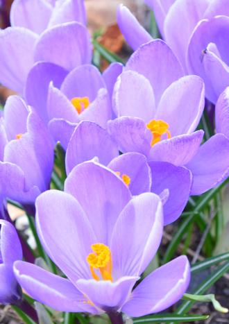 Purple Pansies-AMLT.png