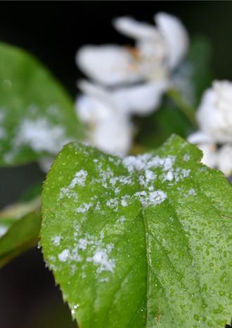 AMLT-snowy-spring-blossom.jpg
