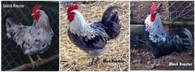 SB rooster colors.jpg