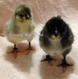 Olive Egger Chicks .02.JPG