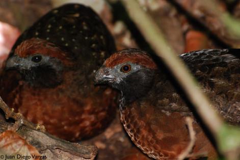 Black-eared Wood Quail