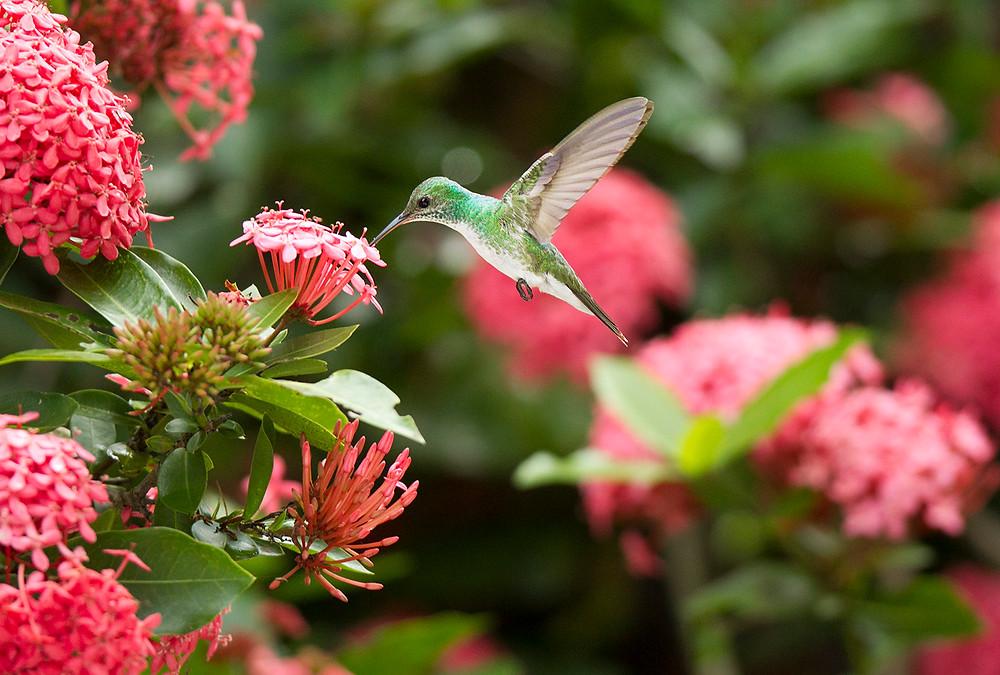 Mangrove Hummingbird (Amazilia boucardi*)