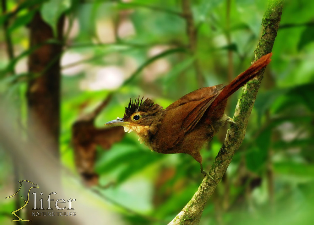 A brand new endemic for Costa Rica and western Panama. This one taken by Juan Diego in 2013 in Carara Nat Park.