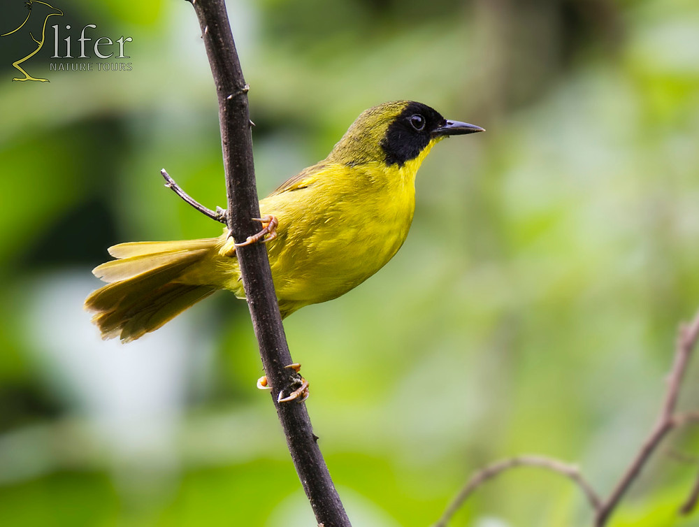 Turns out that our magical-mystery Chiriqui Yellowthroat is just another Olive-crowned Yellowthroat but with some plumage variation... nah. I don't buy it. Olive-crowned Yellowthroat by Juan Diego