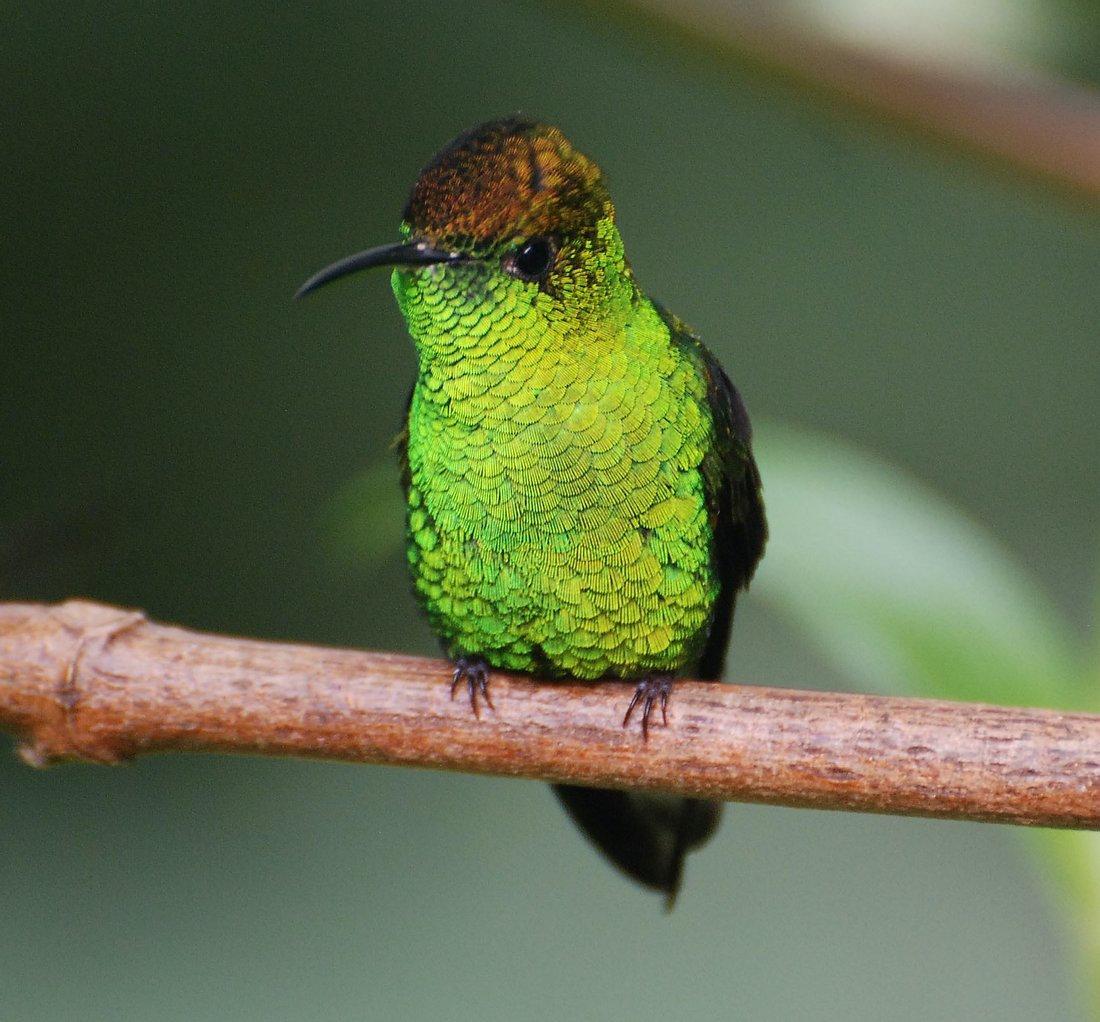 Cloudforest Hummingbirds Live