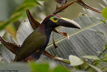 birding tour in Arenal