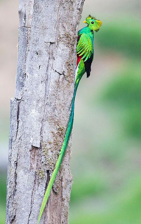 Resplendent Quetzal at nest 2.jpg