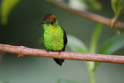 Coopery-headed Emerald