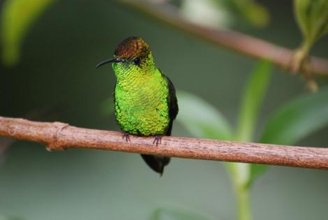 Coopery-headed Emerald