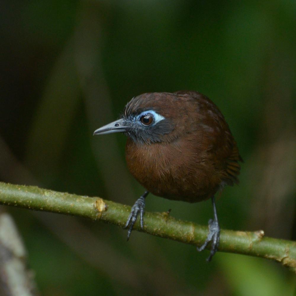 Zeledon's Antbird (Myrmeciza zeledoni) female