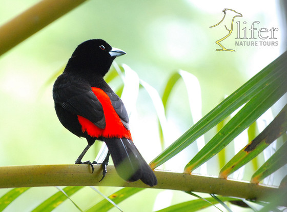 On how the playback resurrected the Scarlet-rumped Tanager and more…