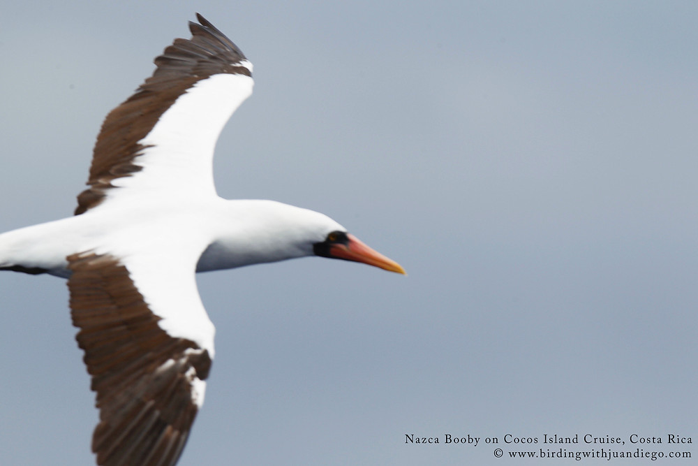 out of focus Nazca Booby