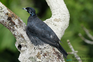 Bare-throated Fruitcrow