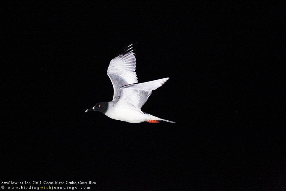 Swallow-tailed Gull keeps navigating