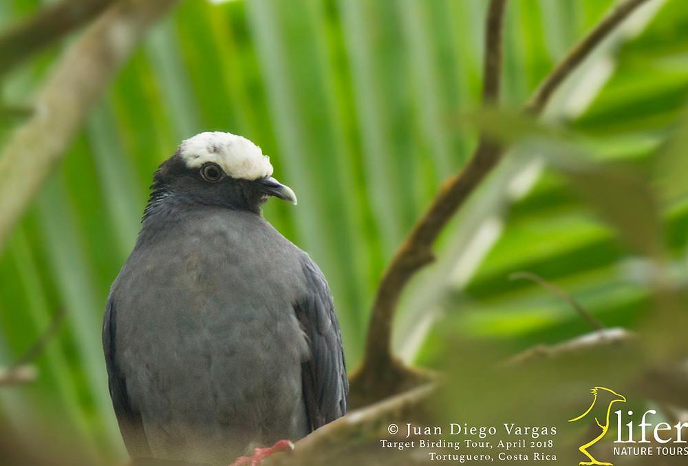 resting bird on a Beach Almond tree