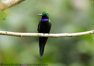 Black-throated Brilliant