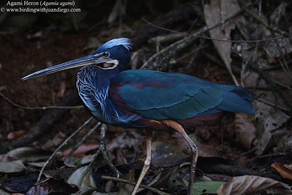 This spectacular waterbird is labeled for some authorities as the most beautiful heron of the world