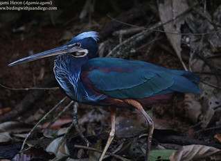 Two birds you rarely see together. Keel-billed Motmot and Agami Heron at the same site.