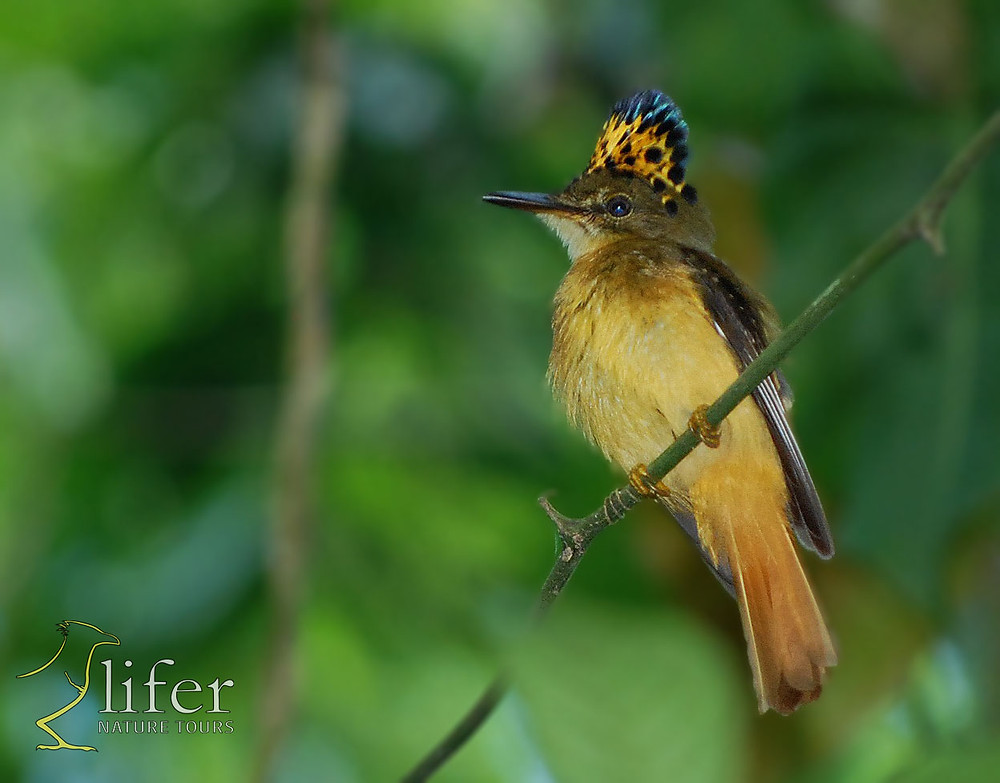 A brand new tropical queen rise its crest in the lowland rainforest of Carara National Park. The Royal Flycatcher. Photo by Juan Diego