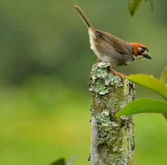 Cabani's Ground Sparrow