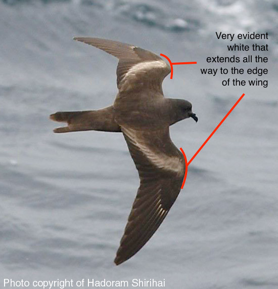 Markham's Storm Petrel, photo for reference