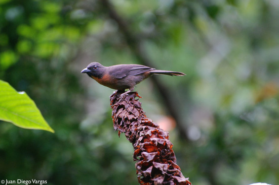 Black-cheeked Ant-tanager (endemic)