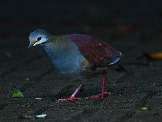 Buff-fronted Quail Dove at the parking lot of Monteverde Reserve!