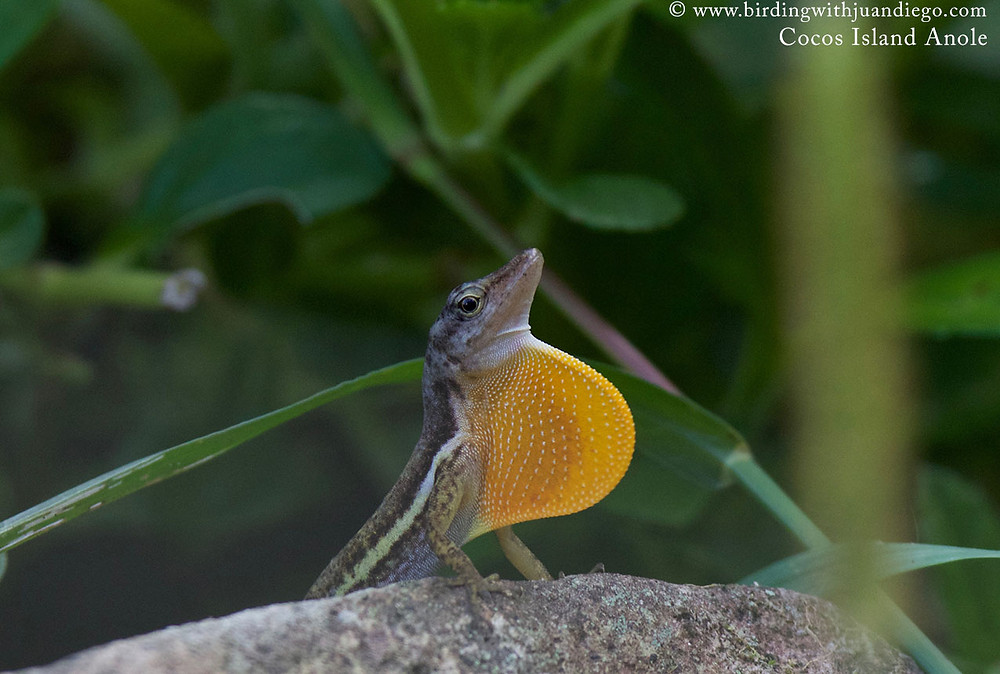Cocos Island Anole, endemic