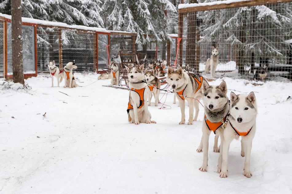 Wild Arctic Husky Park Ranua, Lappi. Huskyt ovat valmiina safarille valjaat päällään.