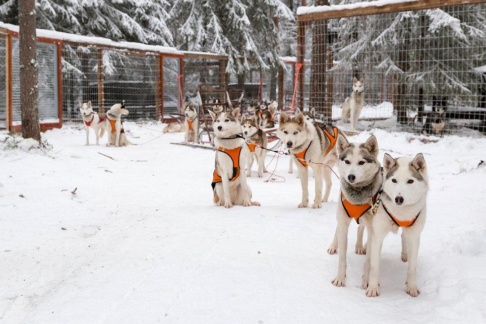 Wild Arctic Husky Park Ranua, Lappi. Huskyt ovat valmiina safarille.