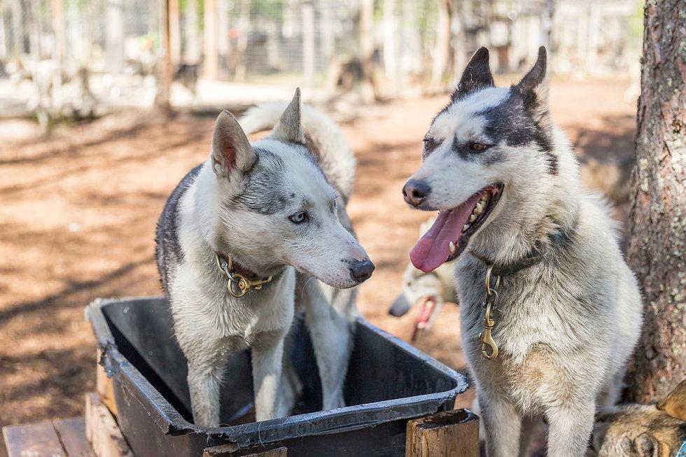 Huskyt ovat vapaana juoksutarhassa  Arctic Borealis Huskies farmilla. Yksi rekikoirista vilvoittelee vesiastiassa.